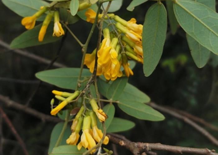 四川巴中通江县诺水河地区发现长圆叶山黑豆居群 属珍稀濒危资源植物