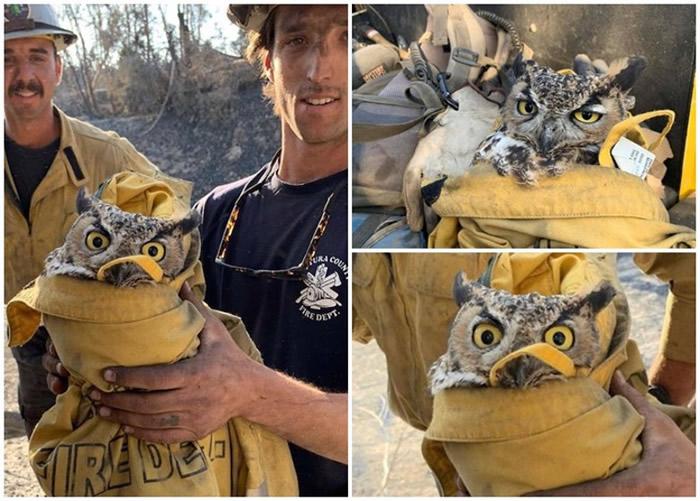 美国加州山火猫头鹰无处可逃 暖心消防员脱外套拯救