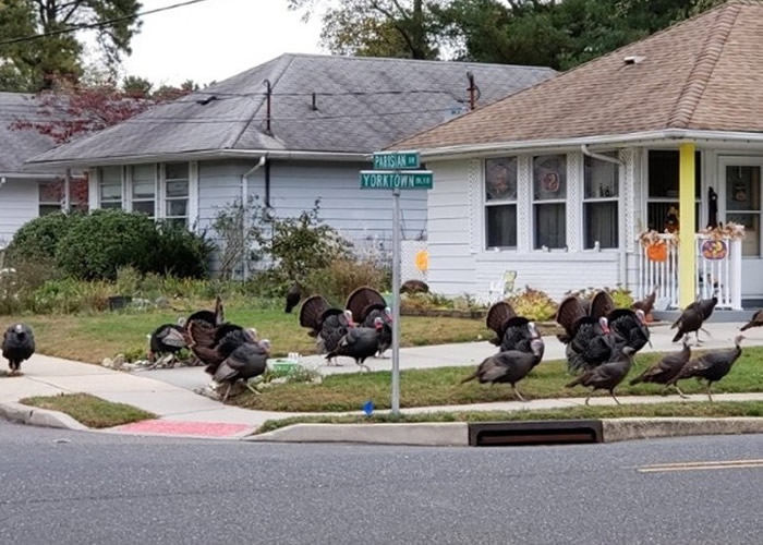 感恩节前大报复?60野生火鸡横行美国新泽西州海洋县社区
