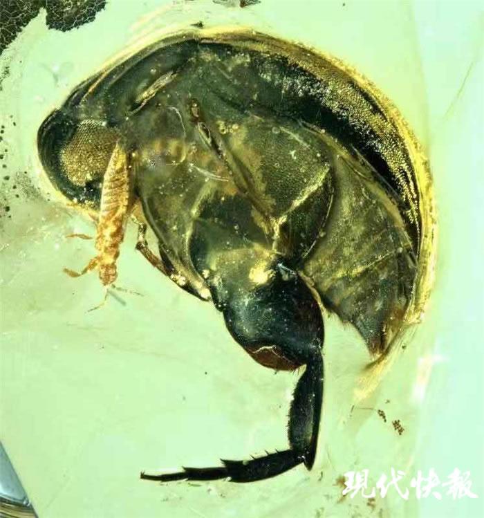 一亿年前缅甸访花花蚤吃花瞬间被定格 缅甸琥