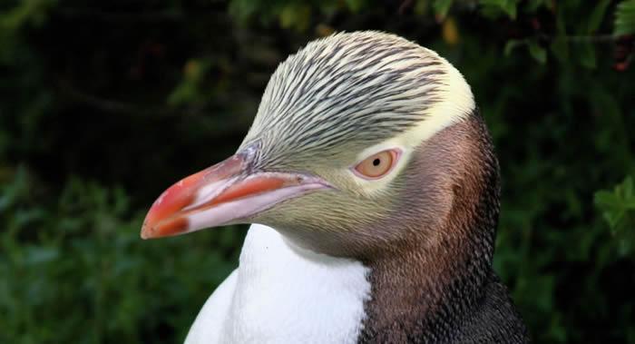 """濒临灭绝""""黄眼企鹅""""战胜84个竞争对手当选新西兰2019年""""年度鸟类"""""""