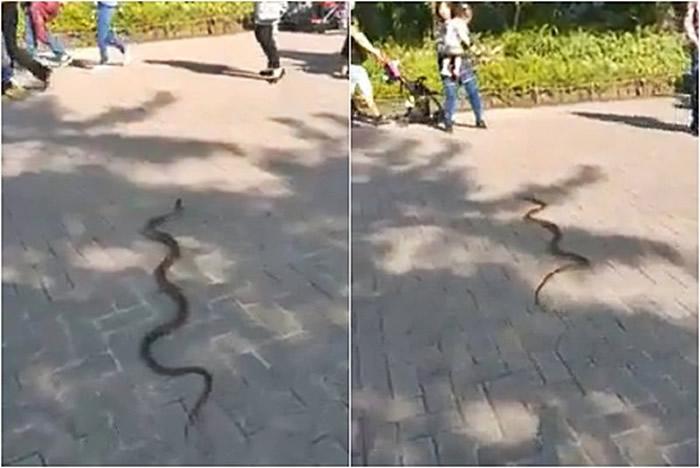 台湾台北市立动物园一条1米长野生大蛇在路上爬行