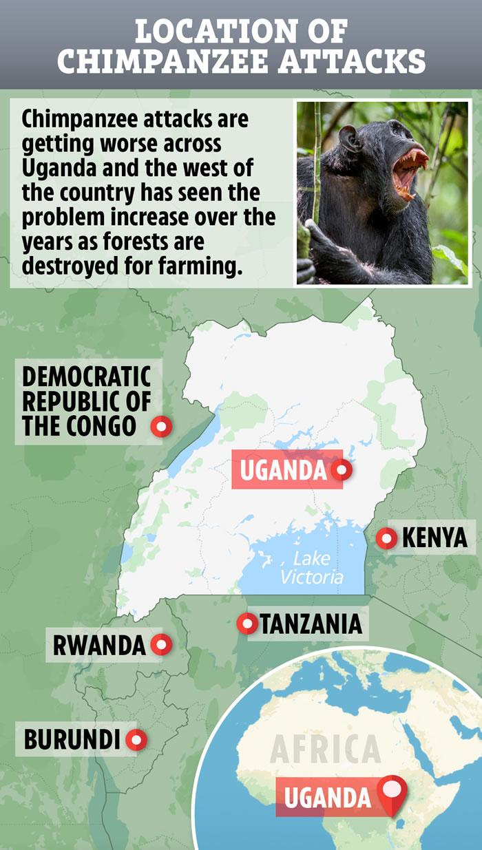 栖息地越来越小开始猎杀人类幼童 2014年非洲乌干达黑猩猩从母亲怀中抢走2岁儿童剖肚摘肾脏