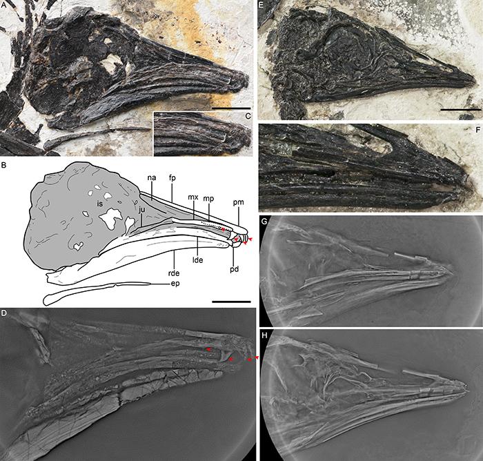 有齿孟子鸟和李氏叉尾鸟头骨比较(王敏供图)