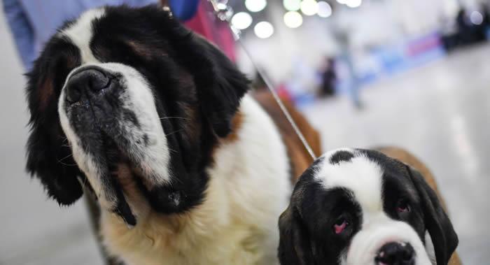 俄罗斯紧急情况部解释为何圣伯纳犬不再用作搜救犬