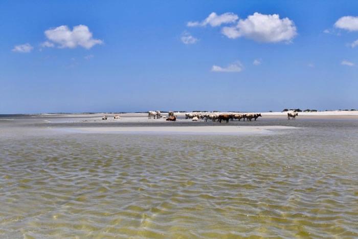 美国北卡罗来纳州锡达岛3头牛被飓风海啸卷走以为已经死亡 却奇迹在8公里外上岸