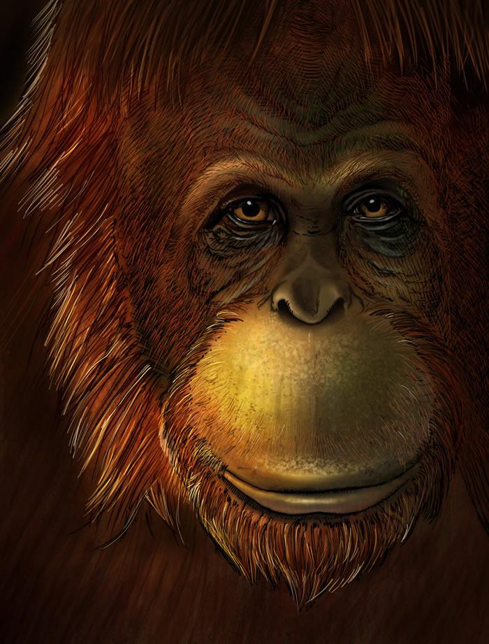 英国《自然》杂志:牙釉质蛋白质组揭示巨猿是猩