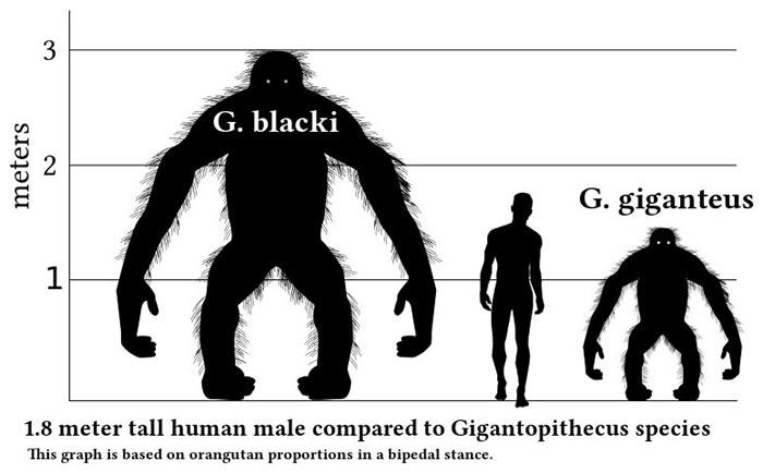 英国《自然》杂志:牙釉质蛋白质组揭示巨猿是猩猩家族的早期成员