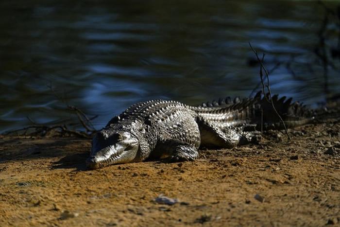 """澳洲男子在昆士兰""""鳄鱼之乡""""凯恩斯镇海滩钓鱼遭鳄鱼袭击试图拖下海 猛戳它眼睛脱险"""