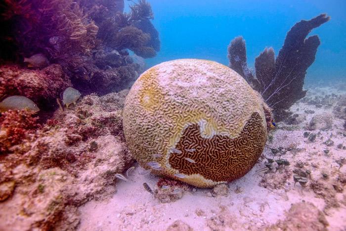 墨西哥加勒比海海域有30%珊瑚感染一种名为SCTLD的罕见疾病