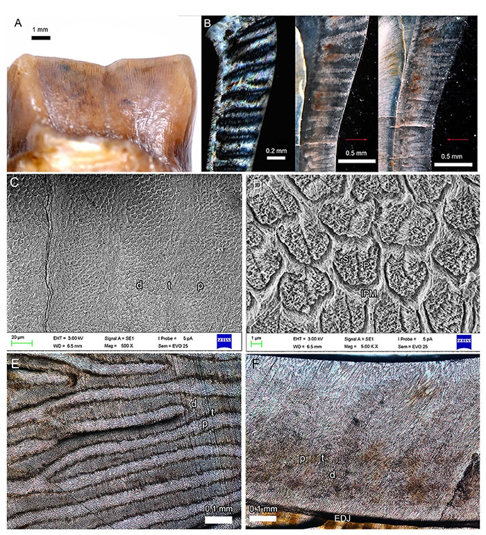 二连脊貘(Irenolophus)下臼齿釉质显微结构。