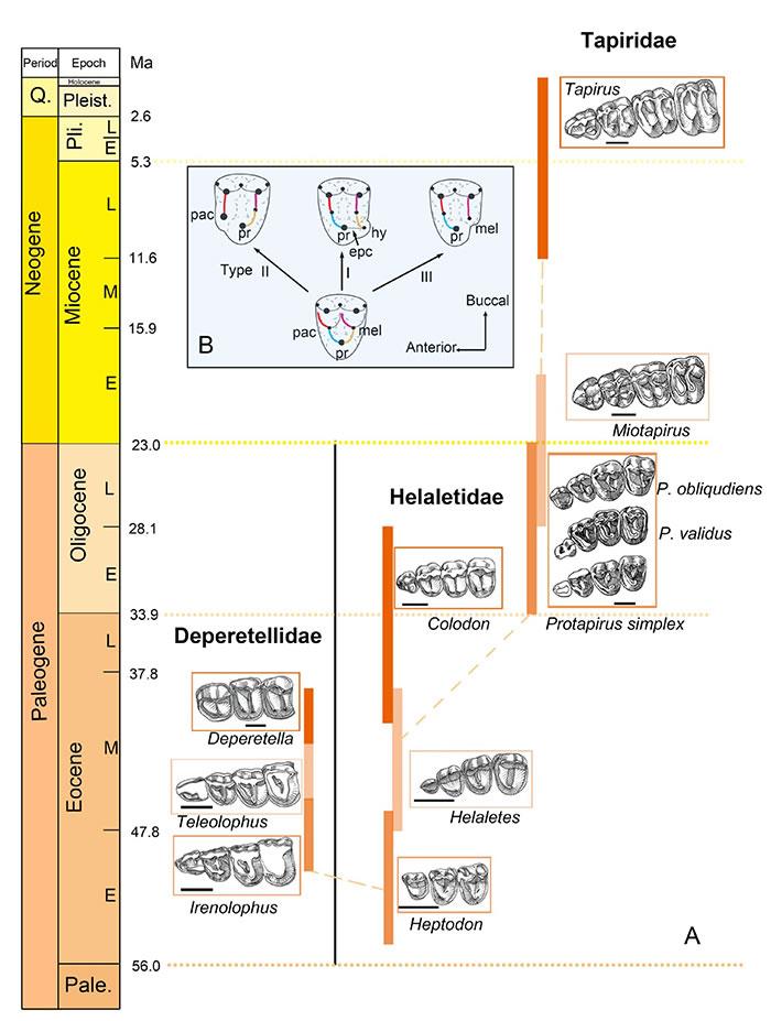 貘超科主要类群前臼齿逐渐臼齿化的演化过程,以及奇蹄类前臼齿臼齿化的三种模式