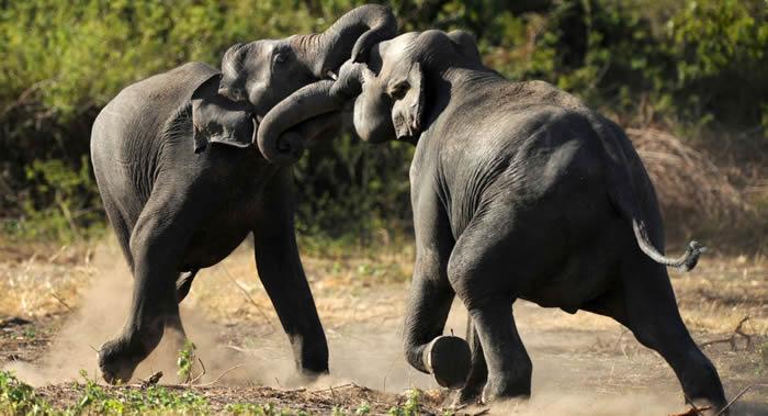 """印度一头被取名为""""奥萨马·本·拉登""""的""""大象杀手""""被捕后在公园内死亡"""