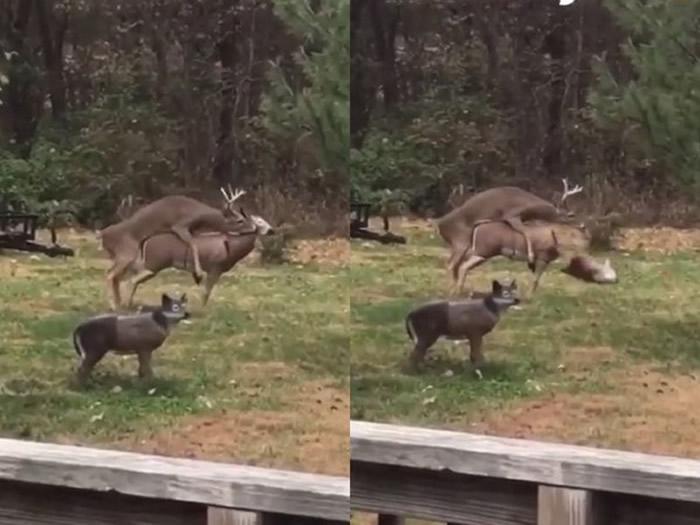 发情交配对方突然断头惨死 公鹿吓得它呆站原地