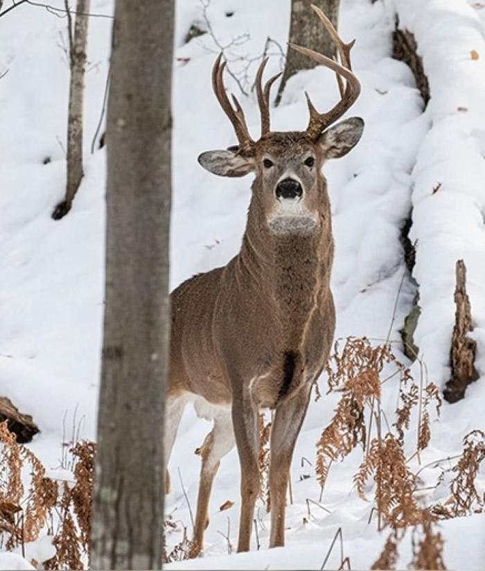 美国密歇根州前州众议员Steve Lindberg到郊区远足时巧遇头部长有三只角的雄鹿