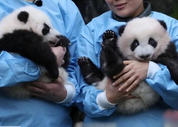 """比利时布吕热莱特市天堂动物园正式为今年8月出生的大熊猫命名:""""宝弟""""和""""宝妹"""""""