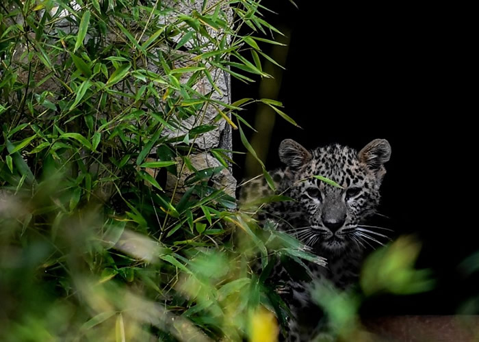 葡萄牙首都里斯本动物园3只罕见的波斯豹幼崽华丽亮相