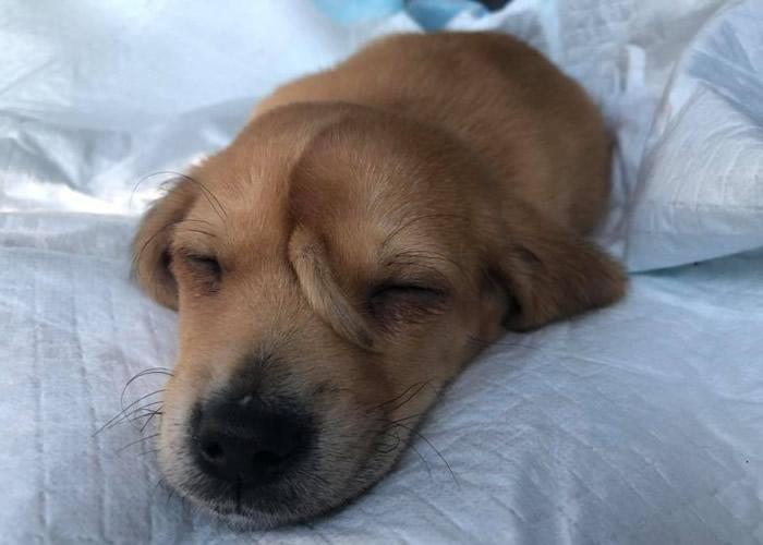 """美国密苏里州动物救援组织在街上救下一只额头长小尾巴的流浪小狗""""Narwhal"""""""