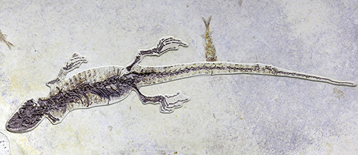 清修过程的矢部龙标本,其胃容物尚未暴露。  本文图片均为受访者提供