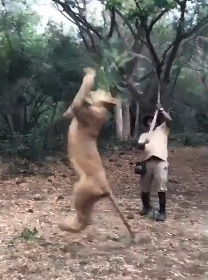 男子逗狮子就像逗猫