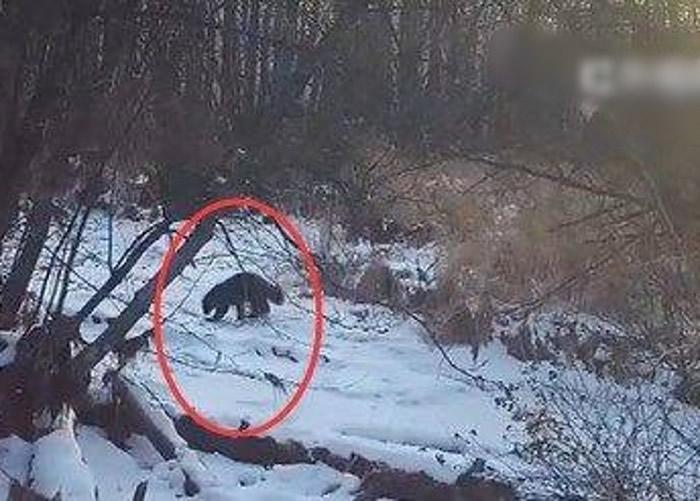 黑龙江大兴安岭首次拍到国家一级保护动物貂熊