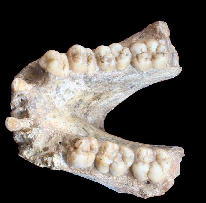 广西田东县祥周镇布兵村吹风洞距今190万年的巨猿牙齿化石中成功提取遗传物质