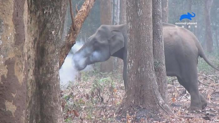 印度大象为什么吞云吐雾?动物星球频道《自然怪