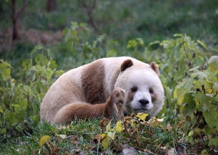 """全球唯一一只棕色大熊猫""""七仔""""被美国公益组"""