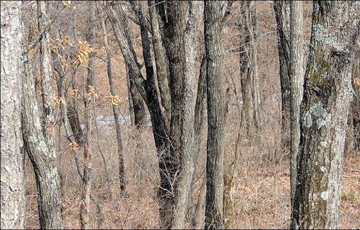 能找到俄罗斯滨海边疆区豹之乡国家公园督察员拍下的树林照片中的一只远东豹吗?