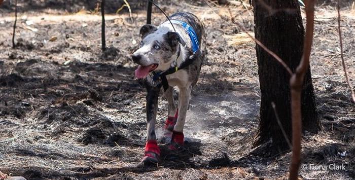 澳洲英雄狗狗舍身闯野火搜寻 发现受困无尾熊就趴下
