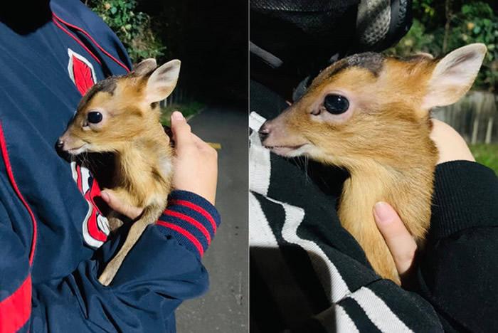 台湾网友骑经山路时发现野狗嘴里叼着小动物 走上前一看竟然是前保育类动物山羌
