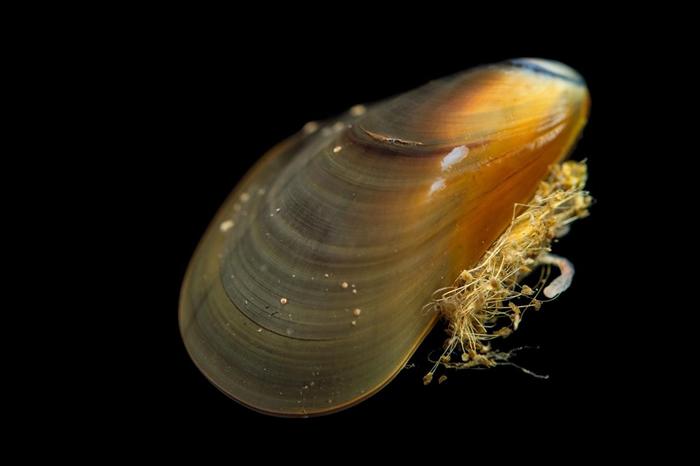 源于油黑壳菜蛤的癌症扩散感染到另外两个物种身上:紫壳菜蛤(Mytilus edulis)以及智利壳菜蛤(Mytilus chilensis)。 PHOTOGRA