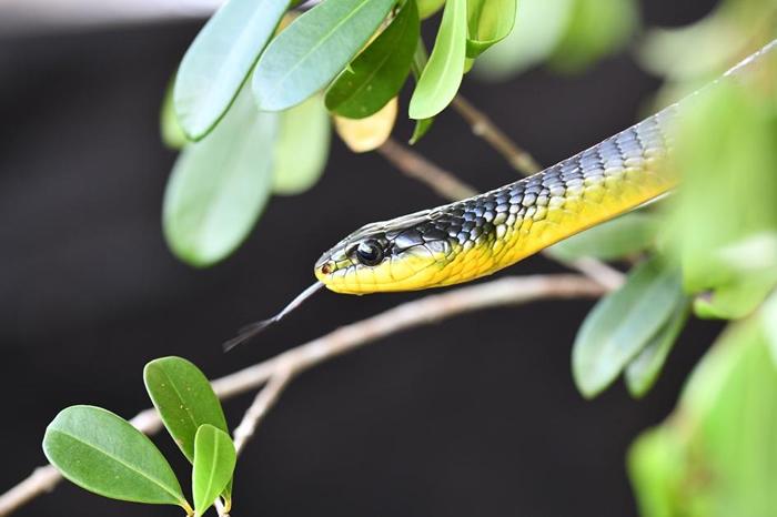 一只过树蛇属(Dendrelaphis)的树栖蛇在研究试验的空档晒日光浴。 PHOTOGRAPH BY JAKE SOCHA