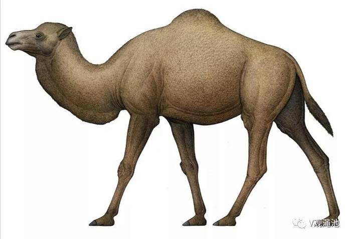 渑池仰韶村古骆驼复原图