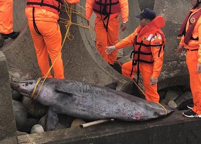苗栗县通霄镇新埔沙滩发现宽吻海豚尸体。