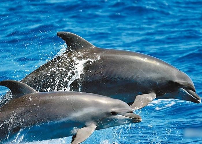 宽吻海豚常在靠近陆地的浅海区域活动。