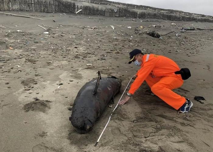 全球仅有逾千只 非常罕见的江豚搁浅陈尸台湾苗栗县后龙镇外埔海宝沟沙滩