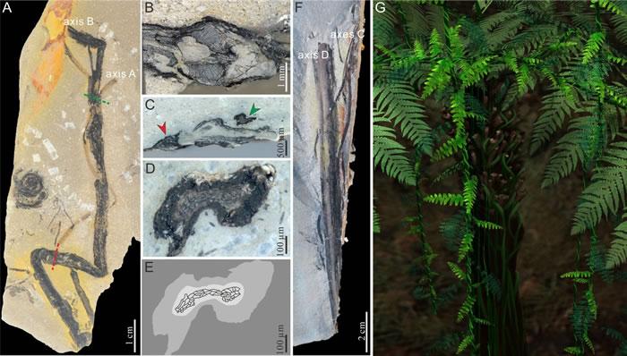 缠绕植物化石及其复原图
