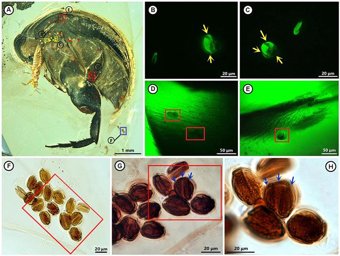花蚤和花粉标本照片