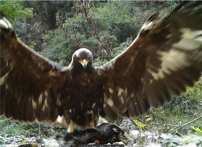 神农架太阳坪生态保护中心龙潭崖屋路边的红外相机拍到身高1.2米巨型金雕