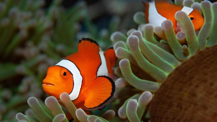 """《海底总动员》中的小丑鱼""""尼莫""""可能因为栖息地破坏 加上适应力不良而消失"""