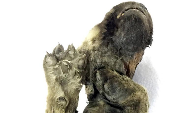 """俄罗斯西伯利亚雅库茨克的因迪吉尔卡河挖到冰冻1.8万年的神秘不明生物""""Dogor"""""""
