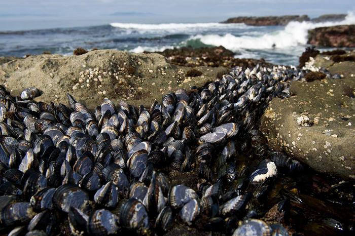 栖息在加拿大不列颠哥伦比亚省温哥华岛(Vancouver Island)海岸的油黑壳菜蛤(Mytilus trossulus),能染上两种传染行癌症。 PHOT