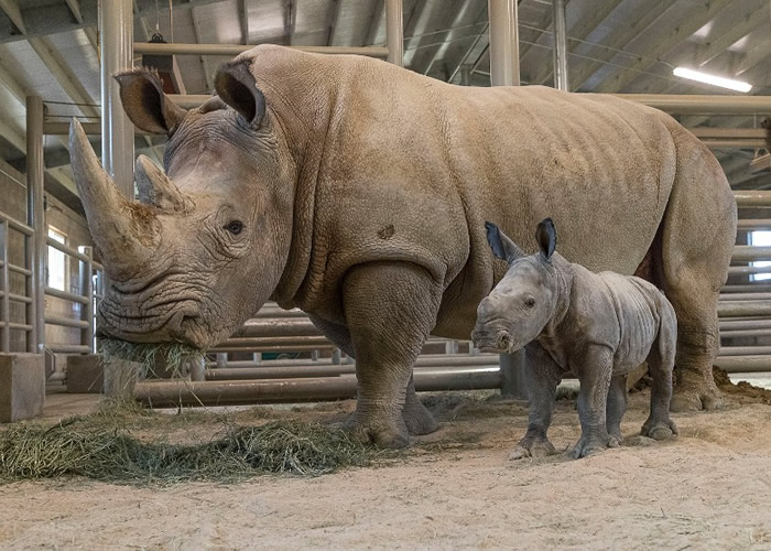 美国南加州圣迭戈动物园第二只成功人工授精的南方白犀牛宝宝出生