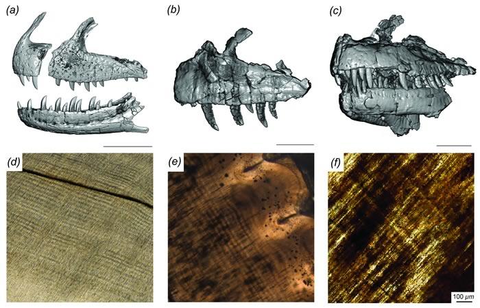 马达加斯加发现的食肉恐龙Majungasaurus会迅速更换牙齿