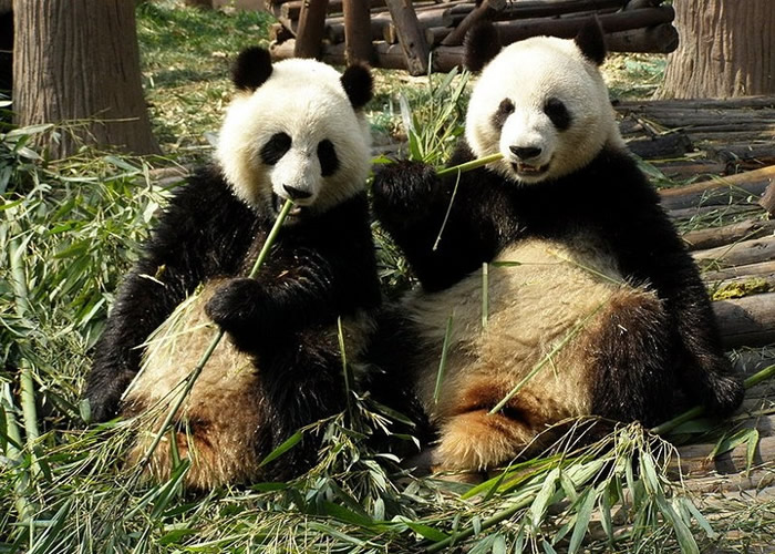 国家林业和草原局下发通知加强保护大熊猫等野外种群栖息地