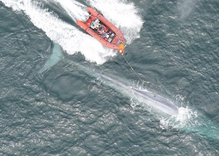 美国科学家首次测到蓝鲸心跳 助了解体型庞大之谜
