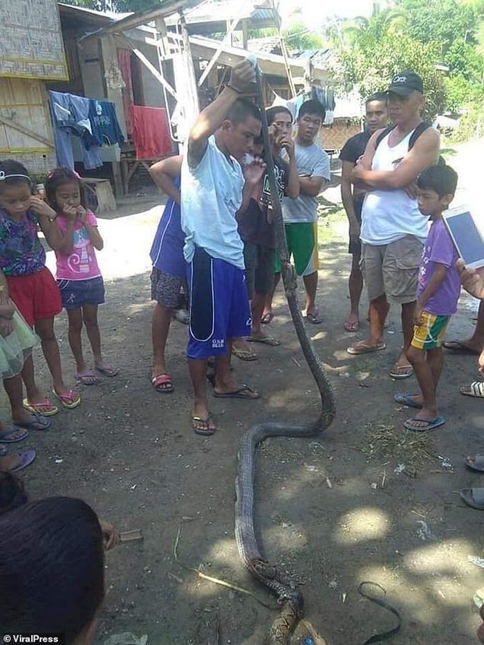 菲律宾南达沃稻田剧毒眼镜蛇大口吞食网状蟒蛇
