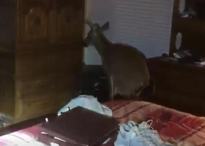 美国俄克拉何马州埃德蒙镇小鹿误闯一户人家睡房