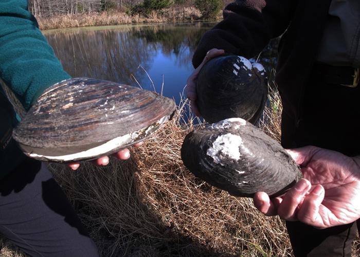 官员指中国蚌类侵略性强,或对当地生态造成破坏。